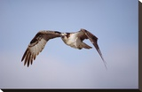 Osprey adult flying  Baja California  Mexico