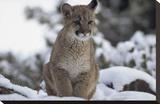 Mountain Lion juvenile in snow  North America