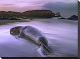 Northern Elephant Seal bull laying at surf's edge  Point Piedras Blancas  California