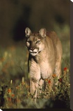Mountain Lion or Cougar walking through a field of red Paintbrush flowers  North America