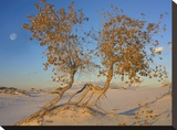 Fremont Cottonwood trees  White Sands National Monument  New Mexico