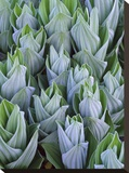 False Hellebore with frost  Gothic  Colorado