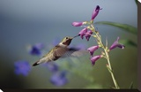 Broad-tailed Hummingbird feeding on flowers  New Mexico