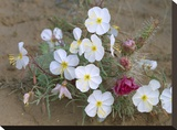 Evening Primrose with Grizzly Bear Cactus   North America