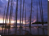 Dead trees in Lower Geyser Basin at sunset  Yellowstone NP  Wyoming
