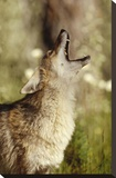 Coyote adult howling  North America