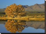 Cottonwood fall foliage with Magdalena Mountains  New Mexico