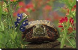 Western Box Turtle among Lupine and Indian Paintbrush  North America