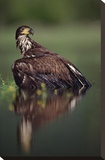 Bald Eagle juvenile with its reflection  British Columbia  Canada