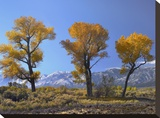 Cottonwood trees  fall foliage  Carson Valley  Nevada