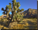 Joshua Tree with the Virgin Mountains  Arizona