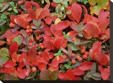 Bearberry on forest floor in autumn  Yukon Territory  Canada