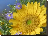 Common Sunflower and Asters  North America
