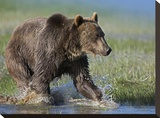 Grizzly Bear running through water  North America