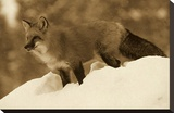 Red Fox standing at the top of a snow bank  Montana - Sepia