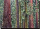 Coast Redwood trees  Mariposa Grove  Yosemite National Park  California