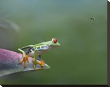 Red-eyed Tree Frog eyeing Bee Fly   Costa Rica
