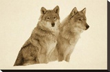 Timber Wolf portrait of pair sitting in snow  North America - Sepia