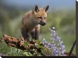 Red Fox kit climbing  North America