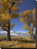 Cottonwood with the Carson Range in the background  Nevada