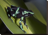 Green and Black Poison Dart Frog portrait  Costa Rica