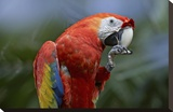 Scarlet Macaw eating  Costa Rica