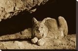 Bobcat adult resting on rock ledge  North America - Sepia