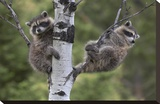 Raccoon two babies in tree  North America