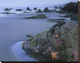 Ochre Sea Stars at low tide  Miwok Beach  Sonoma  California