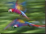 Scarlet Macaw pair flying  Costa Rica