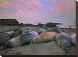 Northern Elephant Seals  Point Piedra Blancas  California
