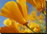 California Poppy flowers  Antelope Valley  California