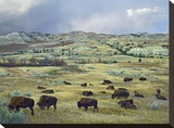 American Bison herd grazing on praire  Theodore Roosevelt NP  North Dakota