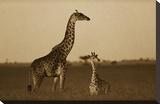 Giraffe adult and foal on savanna  Kenya - Sepia