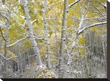 Quaking Aspens near Kebbler Pass  Gunnison National Forest  Colorado