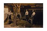 Drying Hops 1906