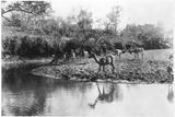 African Waterbucks