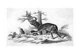 Coyote Caught