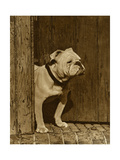 Bulldog in a Doorway