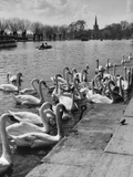 Swans on the River Avon