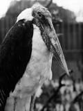 Adjutant Stork