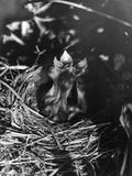 Birds  Hedge Sparrow