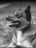 German Shepherd 1930S