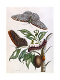 Butterfly Illustration by Maria Sibylla Merian