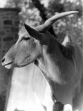 Head of an Eland