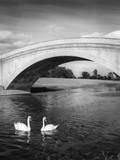Swans and Bridge