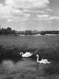 Swans on the River Nene