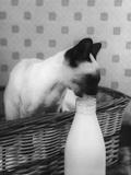 Siamese Cat Gets Cream