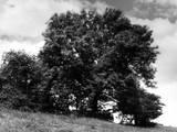 Ash Tree in Summer
