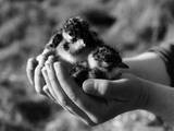 Birds  Lapwing Chicks
